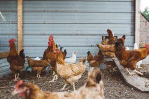 Building Chicken Coops & Runs