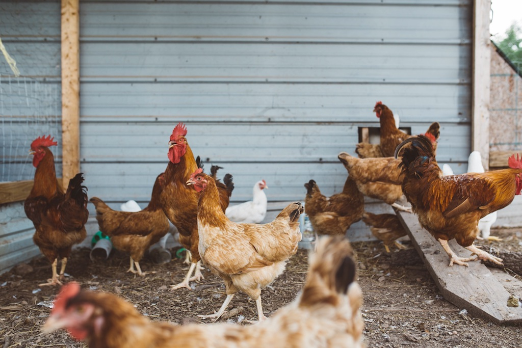 Tips On Building Chicken Coops And Runs. Backyard Chicken Tips