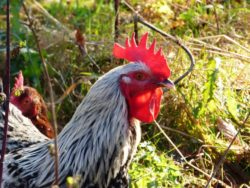 Best Chicken Breeds